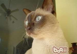 东奇尼猫的喂食要点-成猫饲养